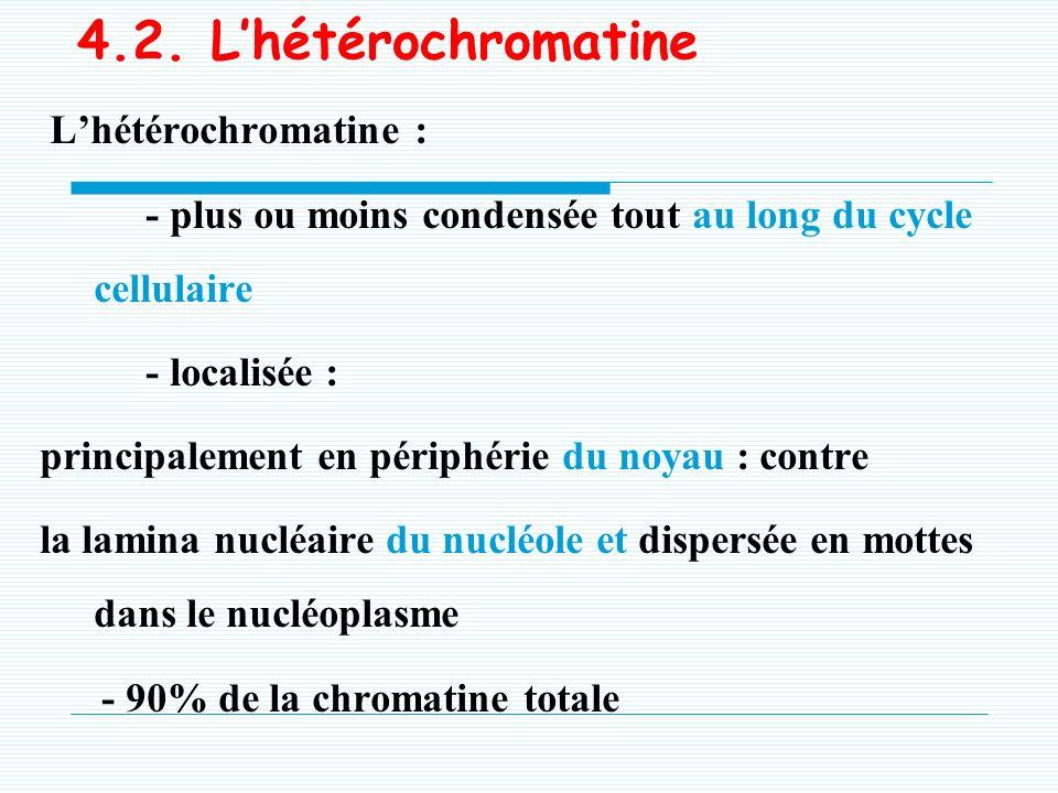 4.1. Leuchromatine Leuchromatine : - totalement décondensée pendant linterphase, - répartie dans le nucléoplasme, - active sur le plan transcriptionne