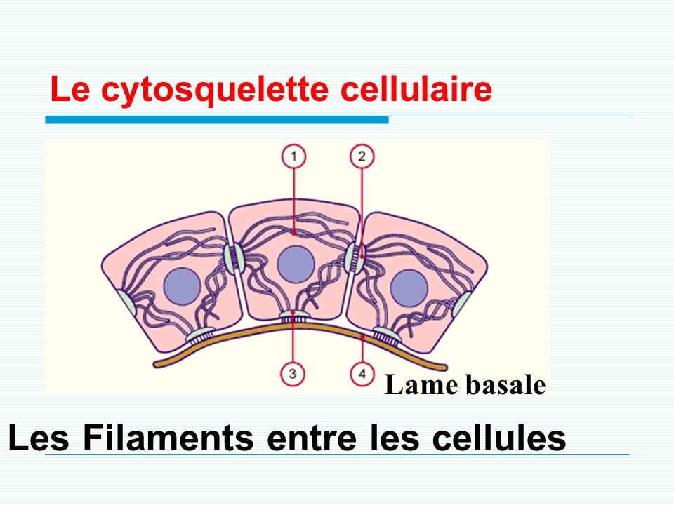 Lame basale Les Filaments entre les cellules Le cytosquelette cellulaire
