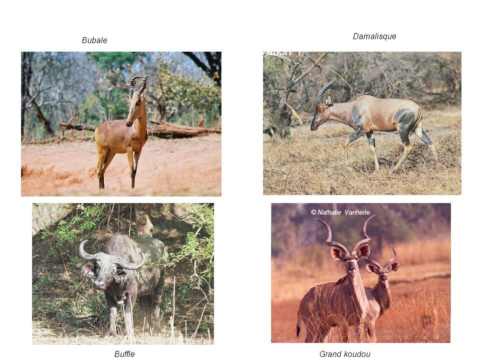 4. Les enjeux: valeur pour la conservation Bubale Buffle Damalisque © Nathalie Vanherle Grand koudou