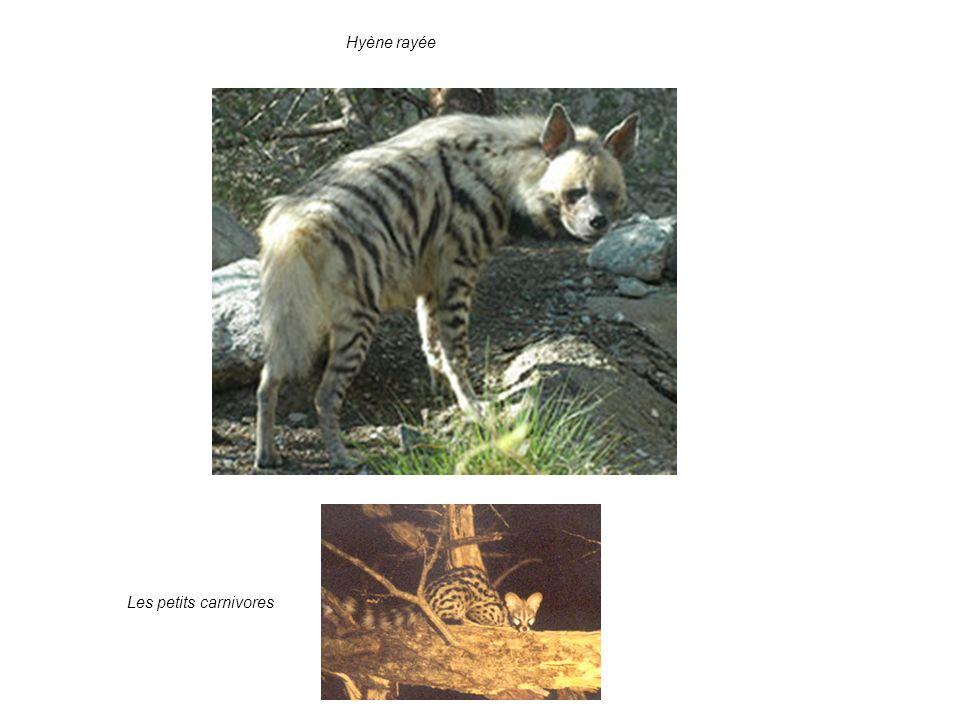 4. Les enjeux: valeur pour la conservation: suite Les petits carnivores Hyène rayée