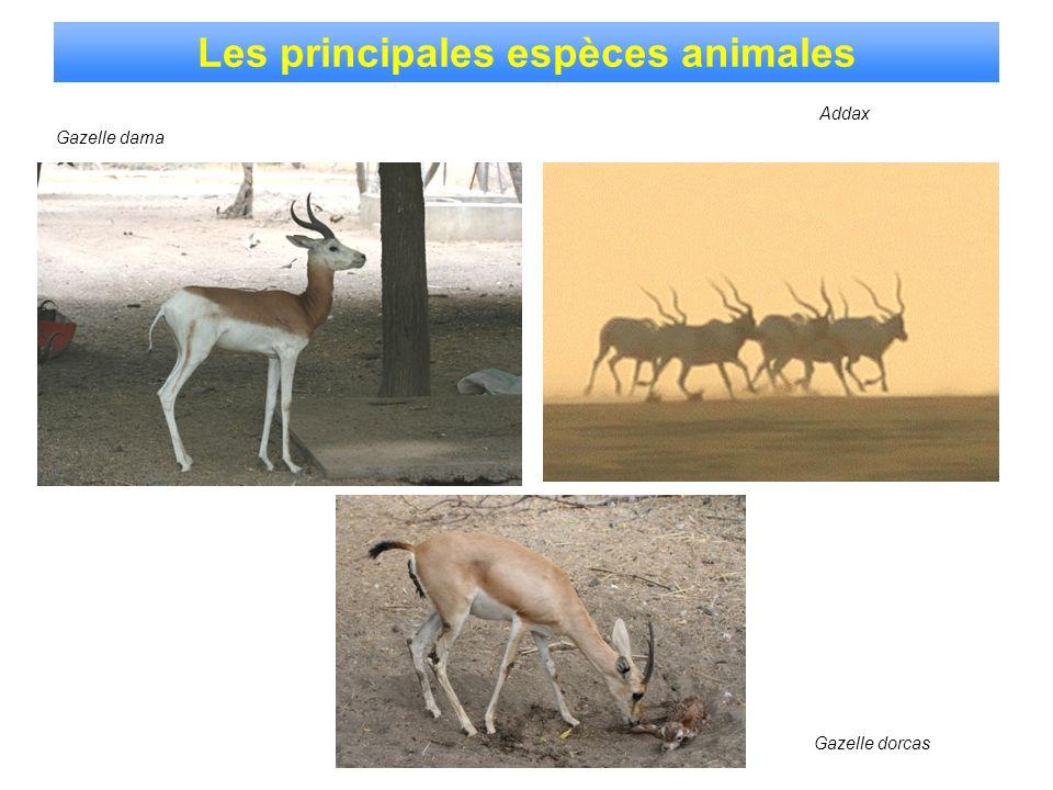 Gazelle dorcas Gazelle dama Les principales espèces animales Addax