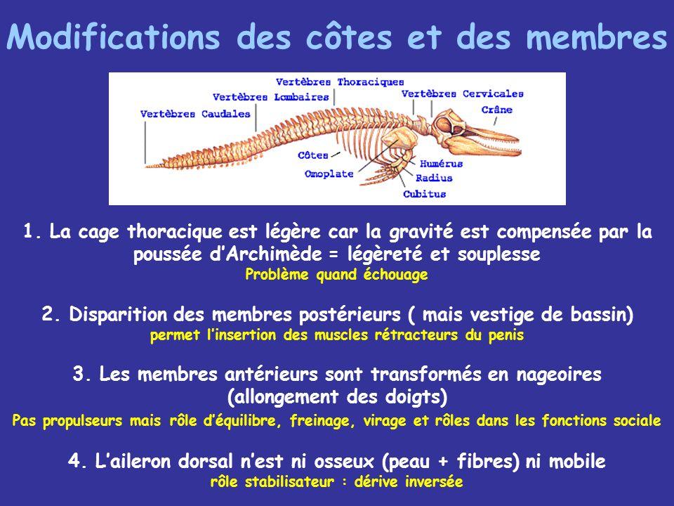 Modifications des côtes et des membres 1.