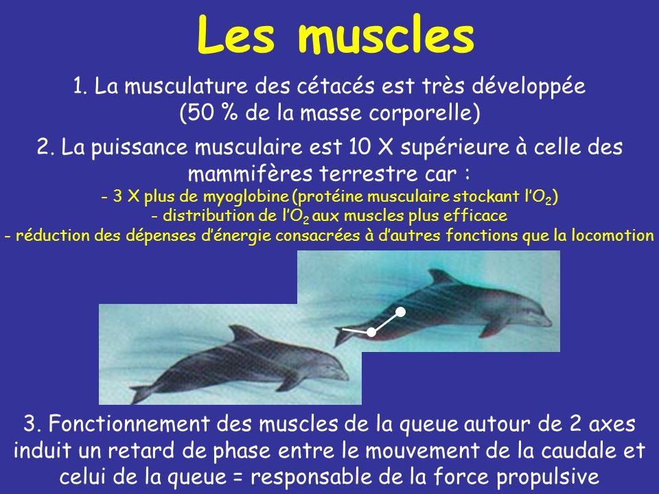 Les muscles 1.La musculature des cétacés est très développée (50 % de la masse corporelle) 2.