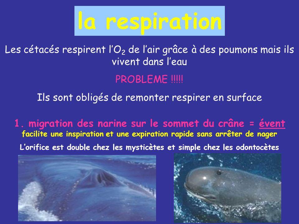 la respiration Les cétacés respirent lO 2 de lair grâce à des poumons mais ils vivent dans leau PROBLEME !!!!.