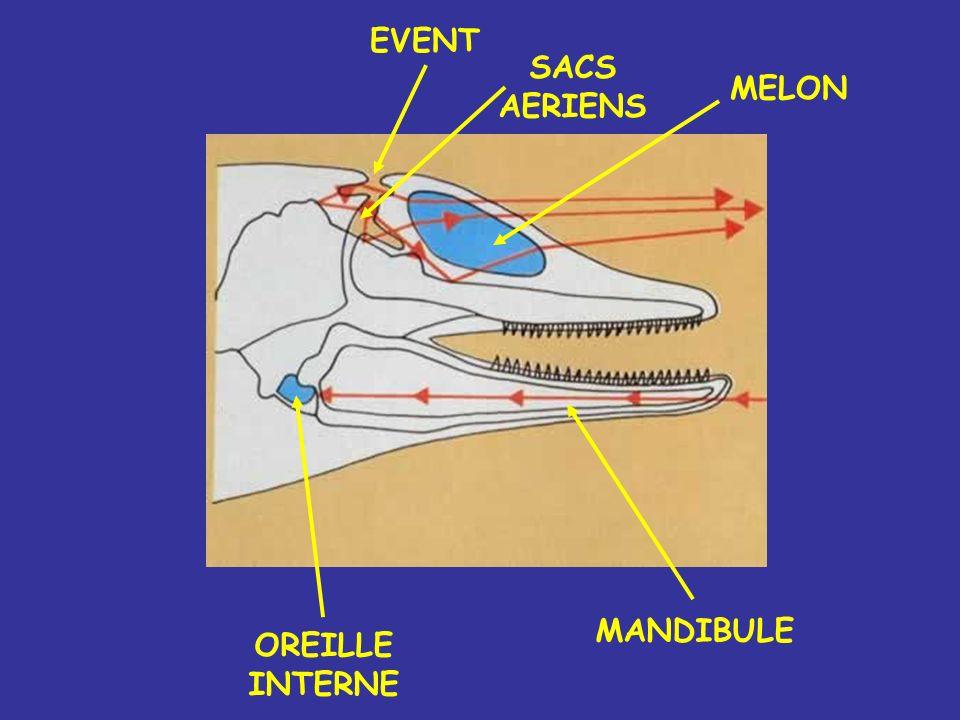 EVENT SACS AERIENS MELON MANDIBULE OREILLE INTERNE
