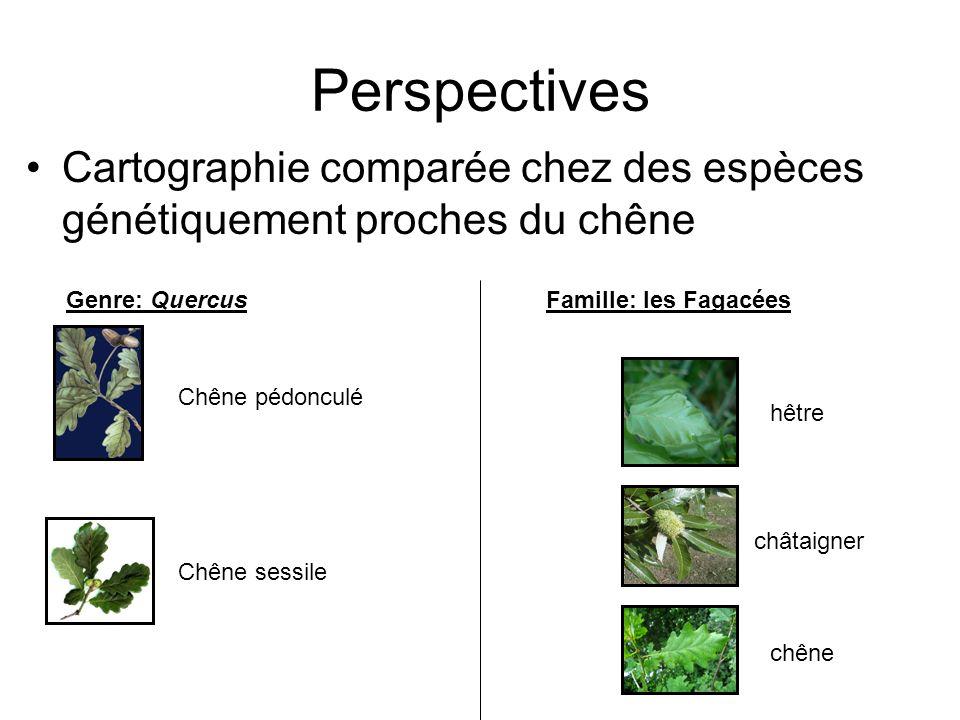 Perspectives Cartographie comparée chez des espèces génétiquement proches du chêne hêtre châtaigner chêne Famille: les FagacéesGenre: Quercus Chêne pé