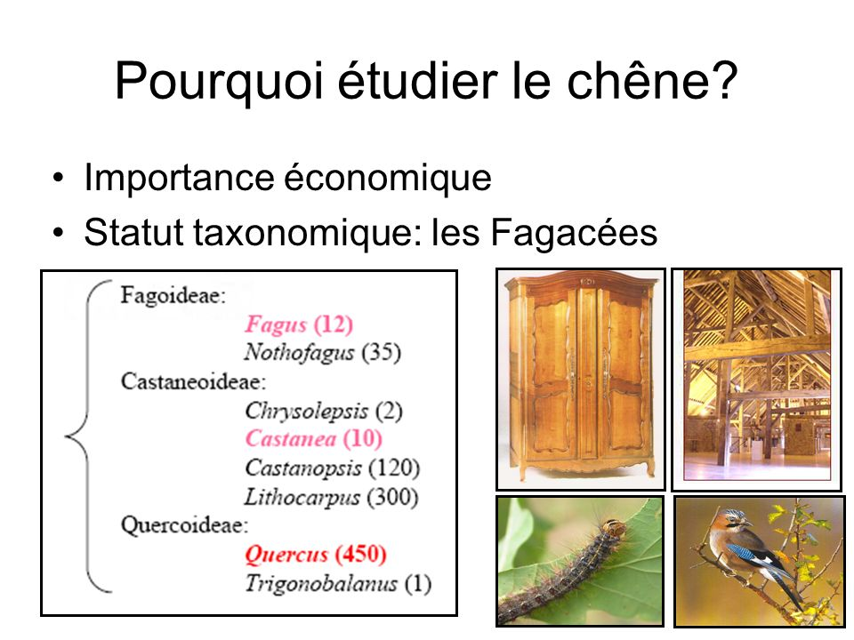 Importance économique Statut taxonomique: les Fagacées Pourquoi étudier le chêne?