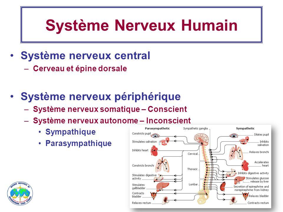 5 Système Nerveux Humain Système nerveux central –Cerveau et épine dorsale Système nerveux périphérique –Système nerveux somatique – Conscient –Systèm