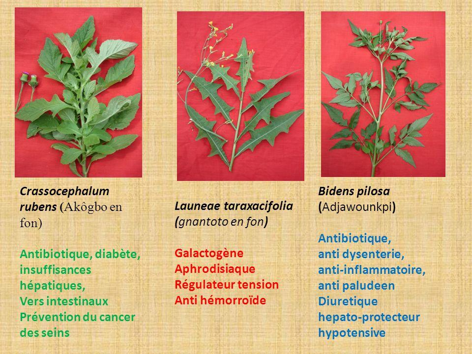 Crassocephalum rubens (Akôgbo en fon) Antibiotique, diabète, insuffisances hépatiques, Vers intestinaux Prévention du cancer des seins Launeae taraxac