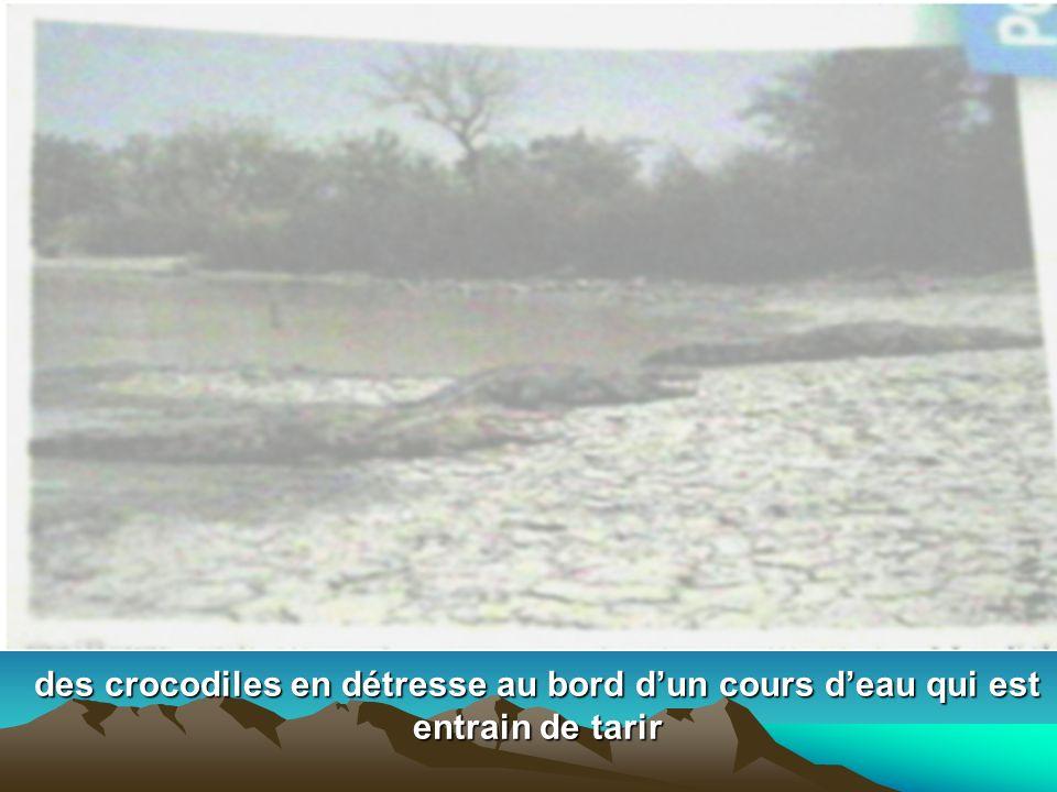 des crocodiles en détresse au bord dun cours deau qui est entrain de tarir