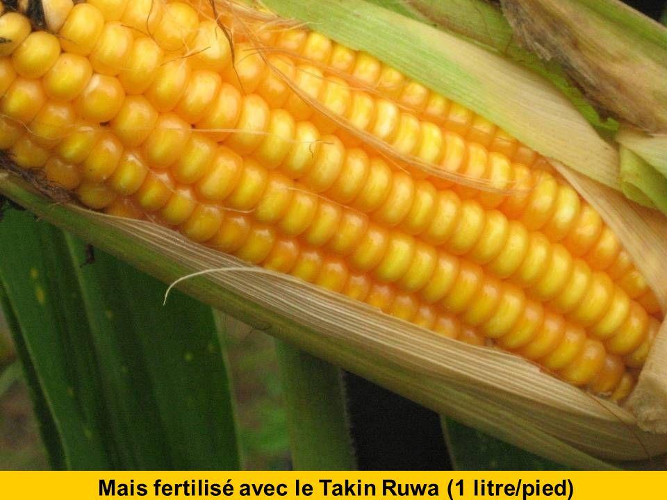 Mais fertilisé avec le Takin Ruwa (1 litre/pied)