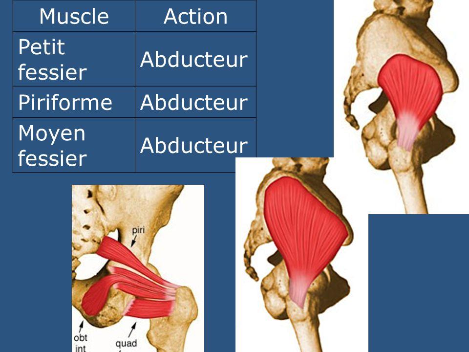 MuscleAction Petit fessier Abducteur PiriformeAbducteur Moyen fessier Abducteur