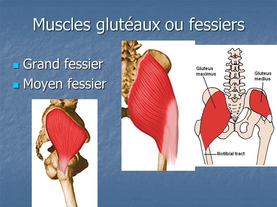 Muscles glutéaux ou fessiers Grand fessier Grand fessier Moyen fessier Moyen fessier