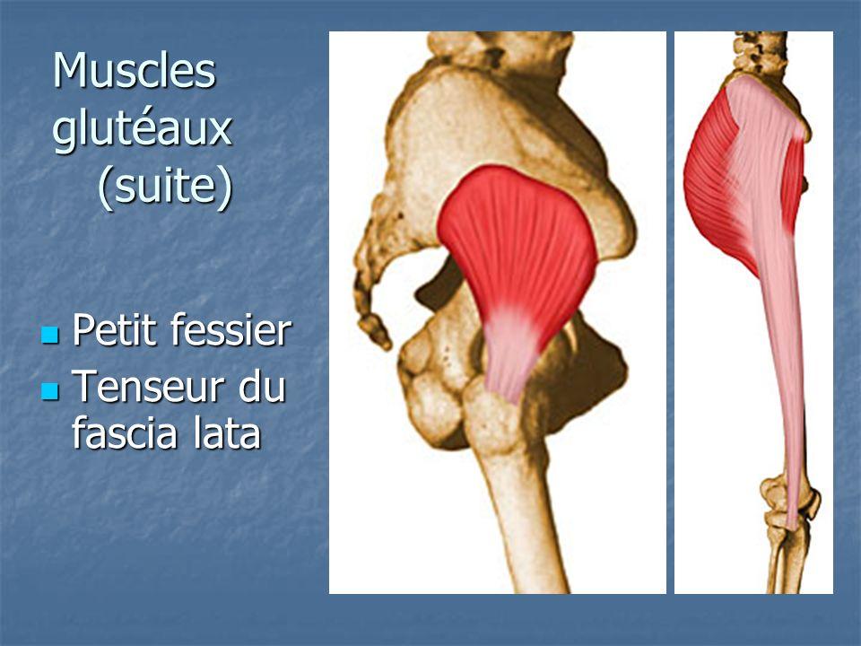 Muscles pelvi-trochantériens Pyramidal (piriforme) Pyramidal (piriforme) Obturateur interne Obturateur interne Jumeaux Jumeaux Carré crural Carré crural