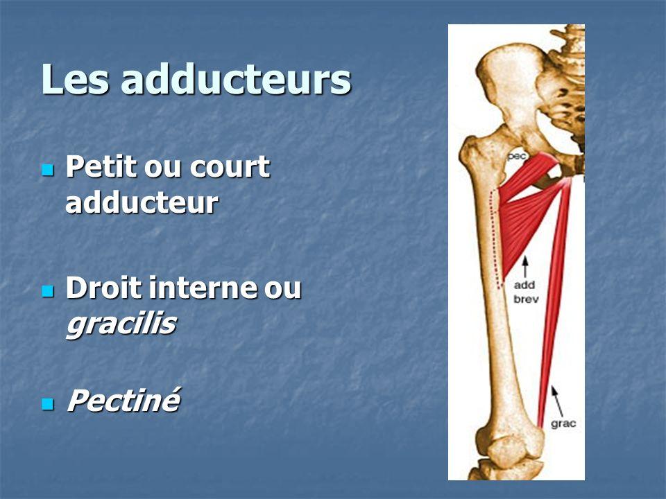 Les adducteurs Petit ou court adducteur Petit ou court adducteur Droit interne ou gracilis Droit interne ou gracilis Pectiné Pectiné