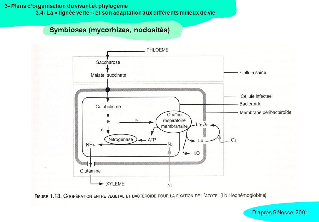 3- Plans dorganisation du vivant et phylogénie 3.4- La « lignée verte » et son adaptation aux différents milieux de vie Symbioses (mycorhizes, nodosités) Daprès Sélosse, 2001