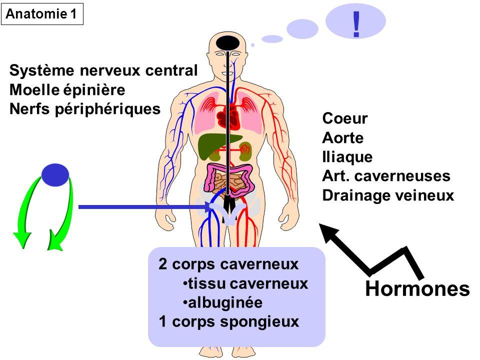 Système nerveux central Moelle épinière Nerfs périphériques Coeur Aorte Iliaque Art. caverneuses Drainage veineux 2 corps caverneux tissu caverneux al