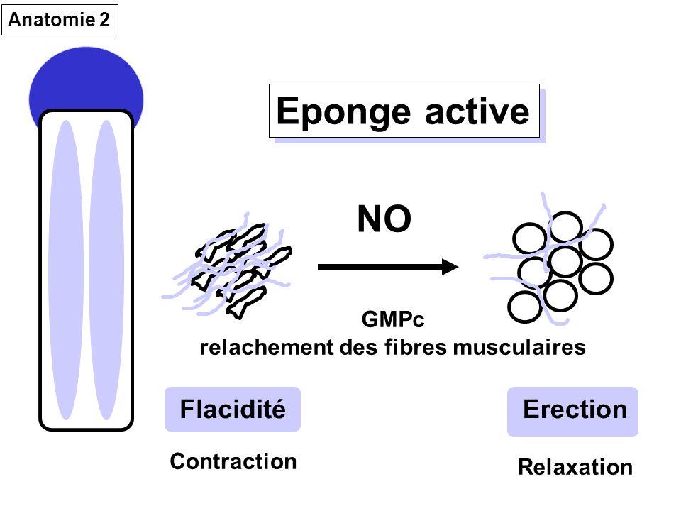 Eponge active FlaciditéErection NO GMPc relachement des fibres musculaires Anatomie 2 Contraction Relaxation
