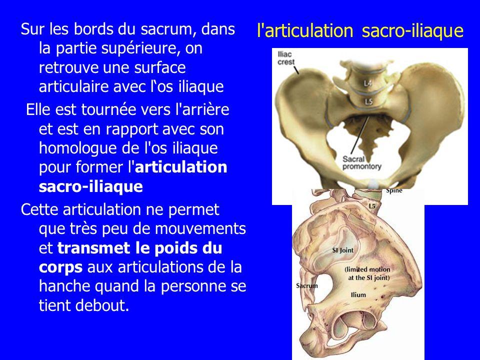 l'articulation sacro-iliaque Sur les bords du sacrum, dans la partie supérieure, on retrouve une surface articulaire avec los iliaque Elle est tournée