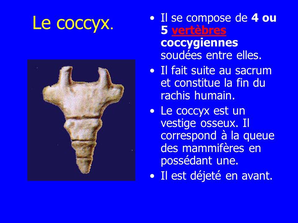 Le coccyx. Il se compose de 4 ou 5 vertèbres coccygiennes soudées entre elles.vertèbres Il fait suite au sacrum et constitue la fin du rachis humain.