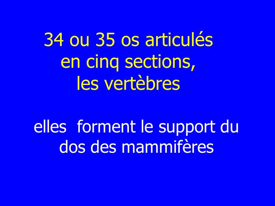 34 ou 35 os articulés en cinq sections, les vertèbres elles forment le support du dos des mammifères