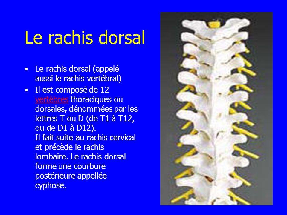 Le rachis dorsal Le rachis dorsal (appelé aussi le rachis vertébral) Il est composé de 12 vertèbres thoraciques ou dorsales, dénommées par les lettres
