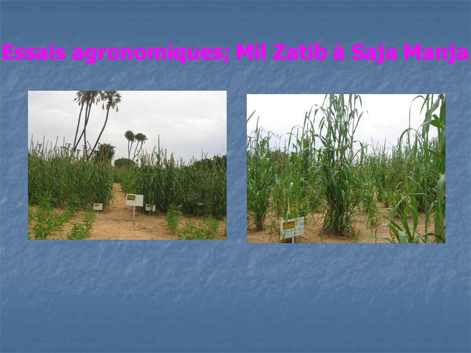 Essais agronomiques; Mil Zatib à Saja Manja