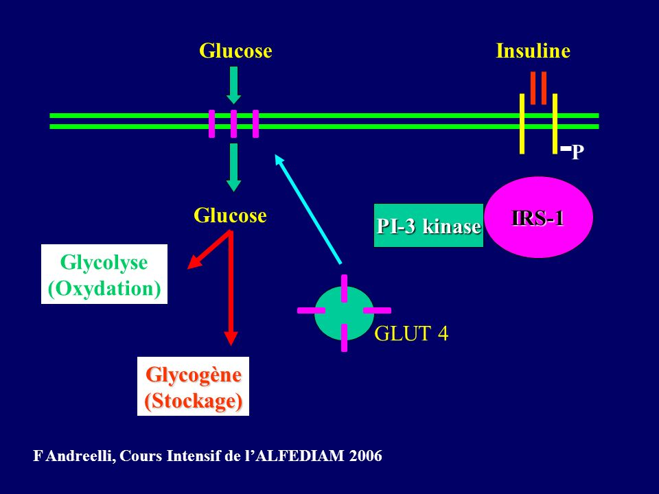 P IRS-1 PI-3 kinase Glucose GLUT 4 Glucose Glycolyse (Oxydation) Glycogène(Stockage) Insuline F Andreelli, Cours Intensif de lALFEDIAM 2006