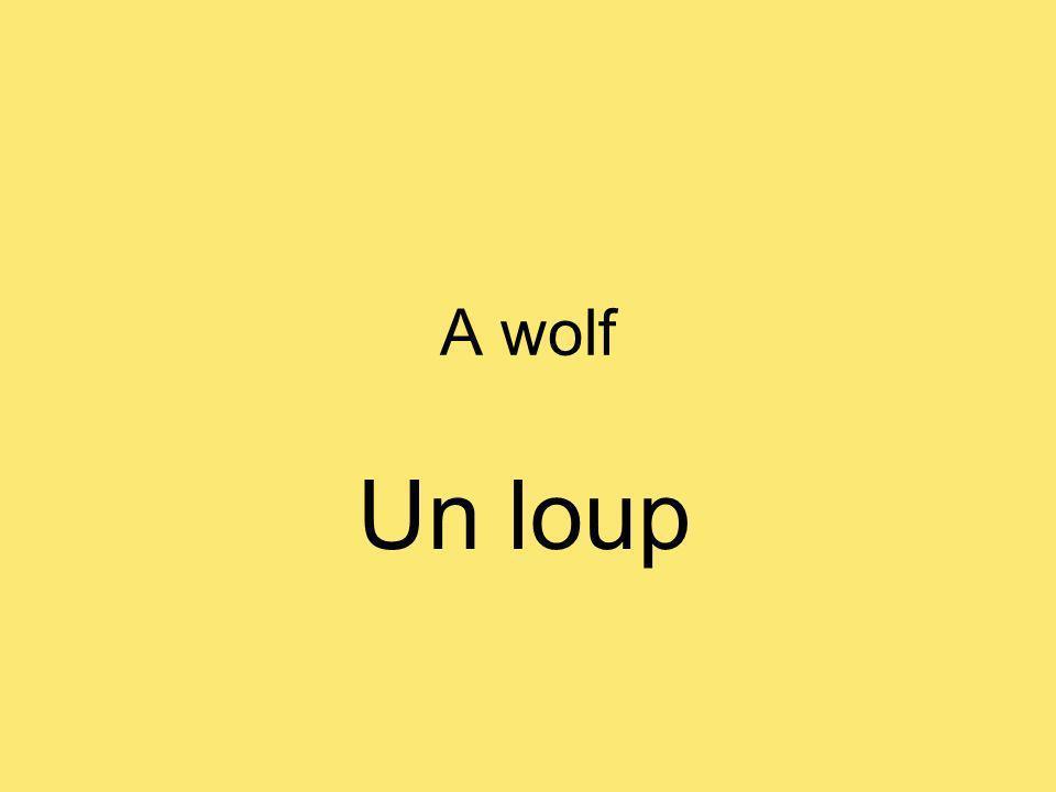 A wolf Un loup