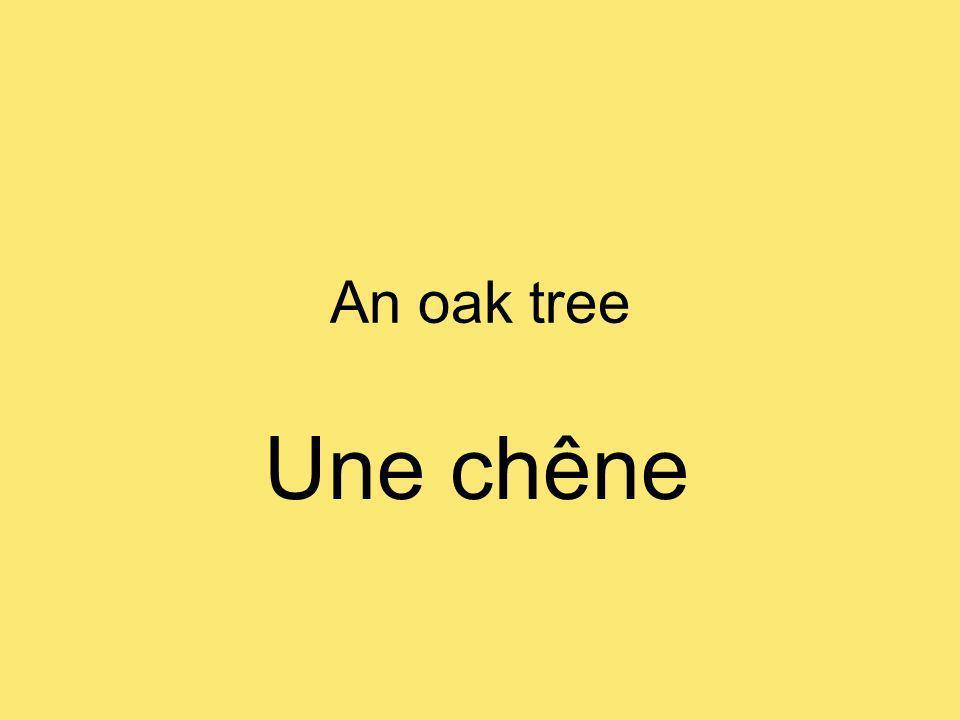 An oak tree Une chêne