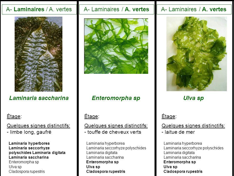 A- Laminaires / A.