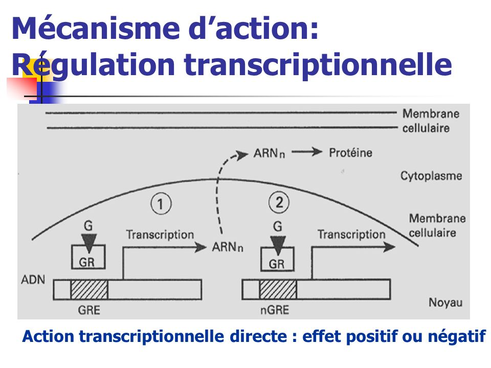Mécanisme daction: Régulation transcriptionnelle Action transcriptionnelle directe : effet positif ou négatif