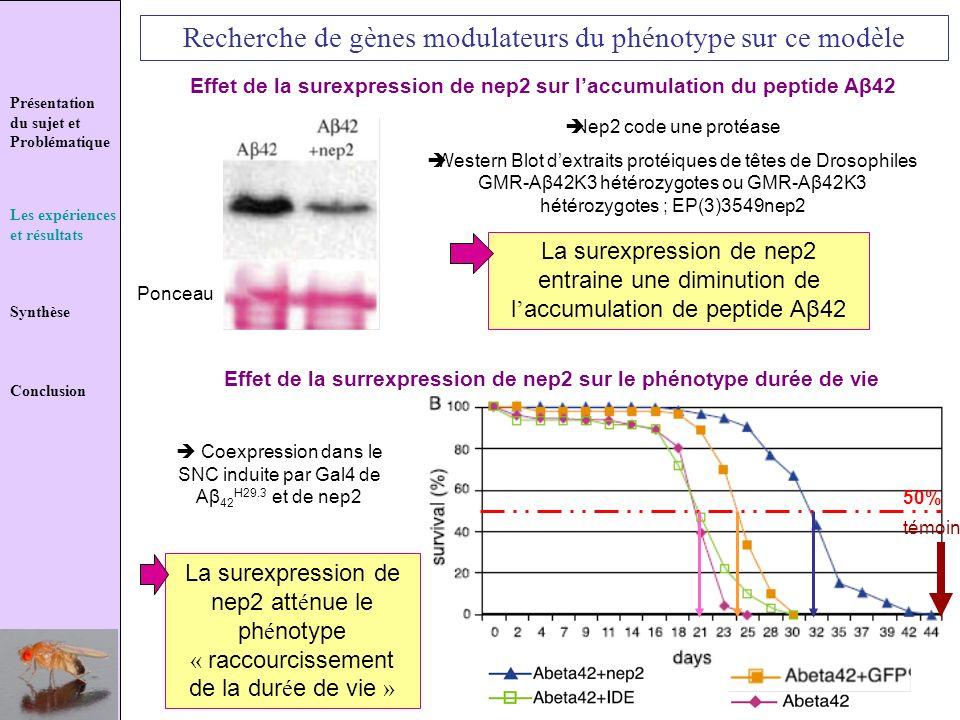 Présentation du sujet et Problématique Les expériences et résultats Synthèse Conclusion Recherche de gènes modulateurs du phénotype sur ce modèle Effe