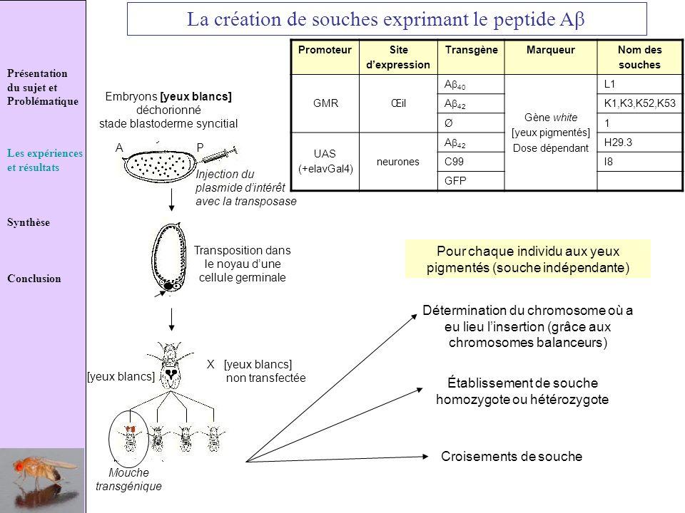 Présentation du sujet et Problématique Les expériences et résultats Synthèse Conclusion La création de souches exprimant le peptide Aβ Embryons [yeux