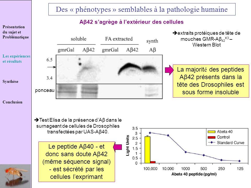 Présentation du sujet et Problématique Les expériences et résultats Synthèse Conclusion Des « phénotypes » semblables à la pathologie humaine Aβ42 sag