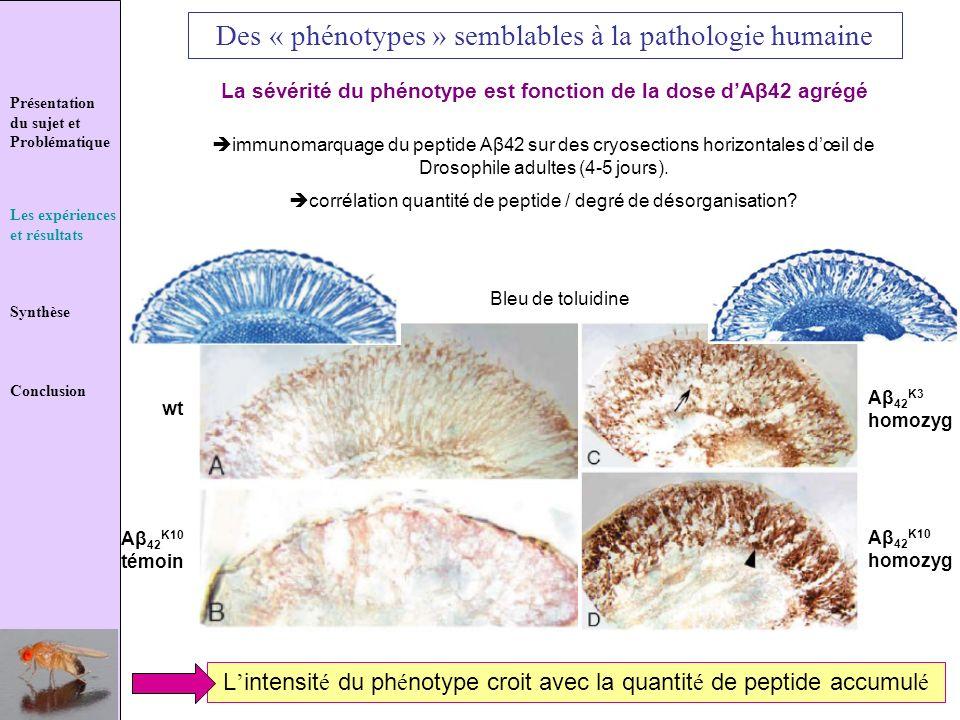 Présentation du sujet et Problématique Les expériences et résultats Synthèse Conclusion Des « phénotypes » semblables à la pathologie humaine La sévér