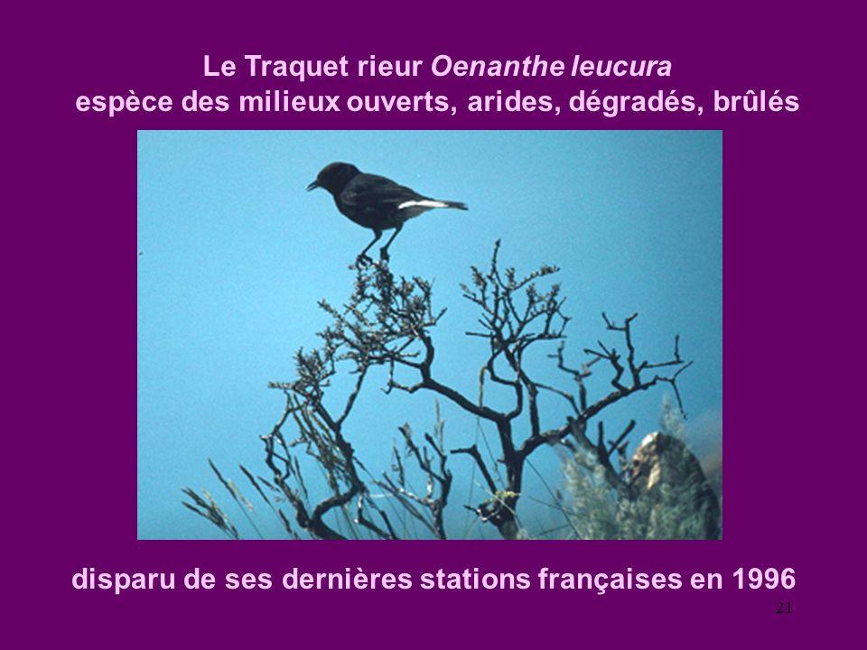 21 Le Traquet rieur Oenanthe leucura espèce des milieux ouverts, arides, dégradés, brûlés disparu de ses dernières stations françaises en 1996
