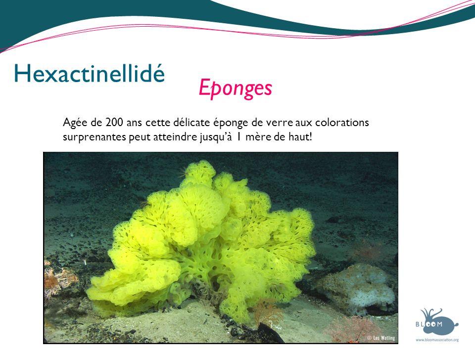 Hexactinellidé Eponges Agée de 200 ans cette délicate éponge de verre aux colorations surprenantes peut atteindre jusquà 1 mère de haut!
