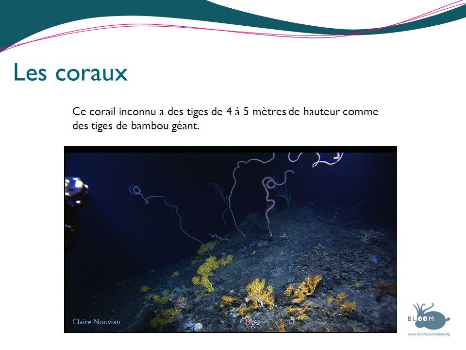 Claire Nouvian Les coraux Ce corail inconnu a des tiges de 4 à 5 mètres de hauteur comme des tiges de bambou géant.