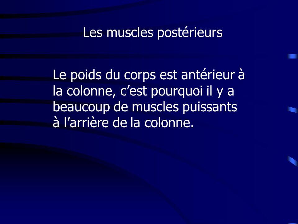 Les muscles postérieurs Le poids du corps est antérieur à la colonne, cest pourquoi il y a beaucoup de muscles puissants à larrière de la colonne.
