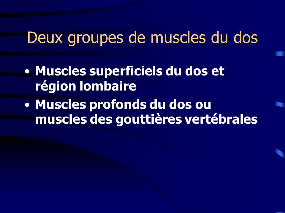 Deux groupes de muscles du dos Muscles superficiels du dos et région lombaire Muscles profonds du dos ou muscles des gouttières vertébrales