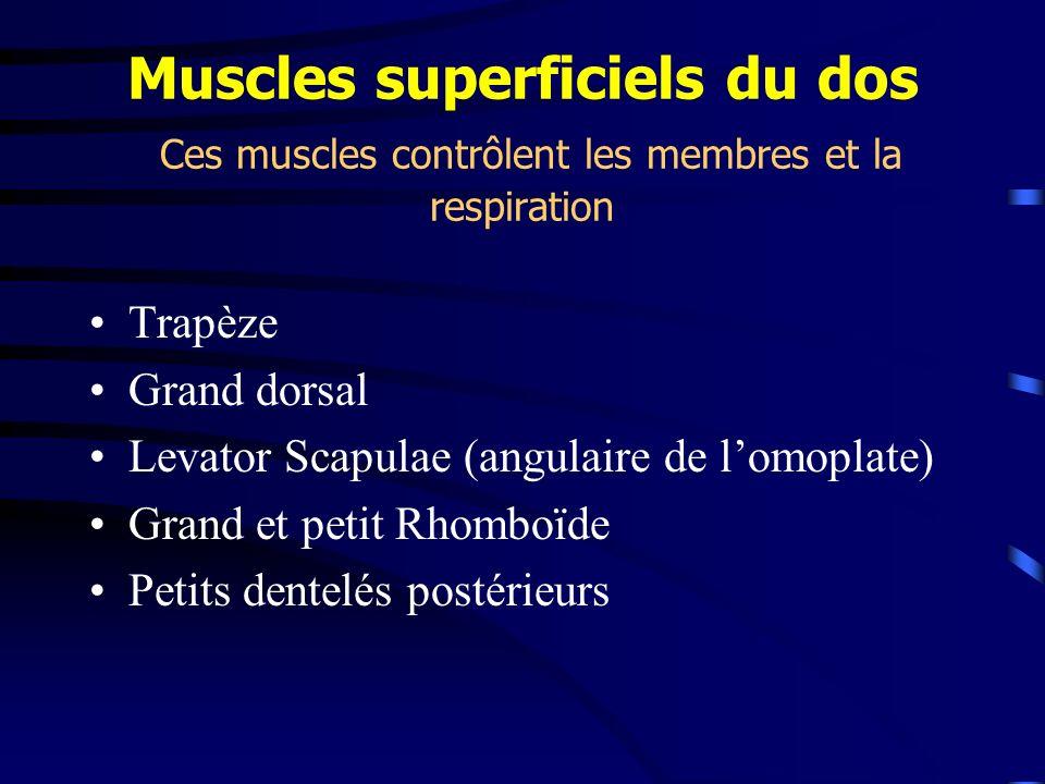 Muscles superficiels du dos Ces muscles contrôlent les membres et la respiration Trapèze Grand dorsal Levator Scapulae (angulaire de lomoplate) Grand