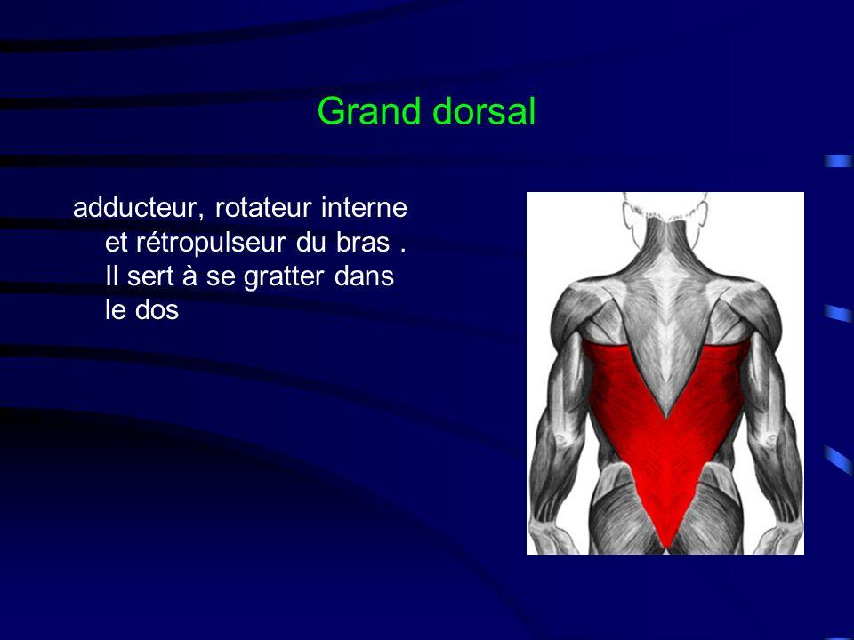 Grand dorsal adducteur, rotateur interne et rétropulseur du bras. Il sert à se gratter dans le dos