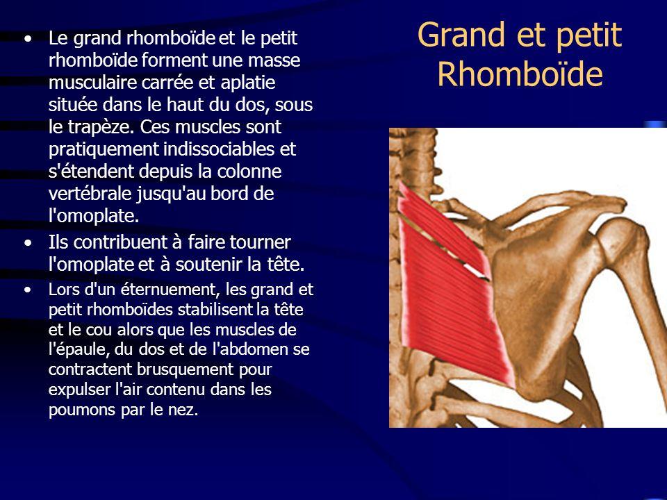Grand et petit Rhomboïde Le grand rhomboïde et le petit rhomboïde forment une masse musculaire carrée et aplatie située dans le haut du dos, sous le t