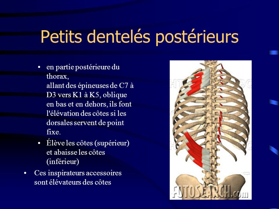 Petits dentelés postérieurs en partie postérieure du thorax, allant des épineuses de C7 à D3 vers K1 à K5, oblique en bas et en dehors, ils font l'élé