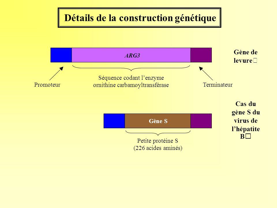 Détails de la construction génétique Petite protéine S (226 acides aminés) Cas du gène S du virus de lhépatite B Gène S Gène de levure ARG3 Séquence c