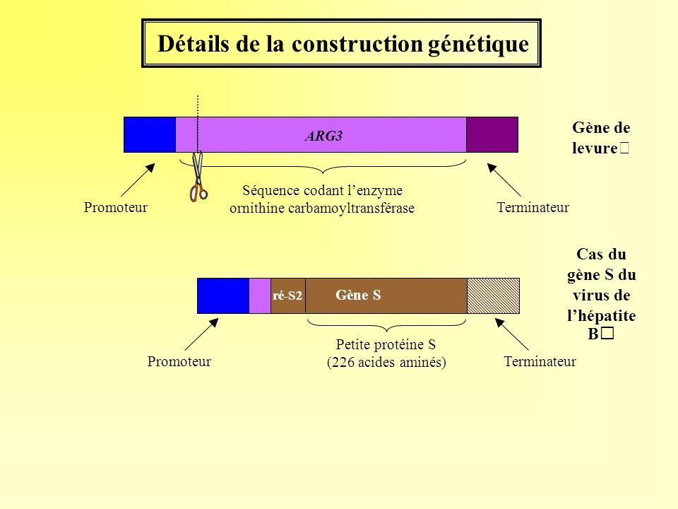 Détails de la construction génétique Petite protéine S (226 acides aminés) Cas du gène S du virus de lhépatite B Gène S ré-S2 Terminateur Gène de levu