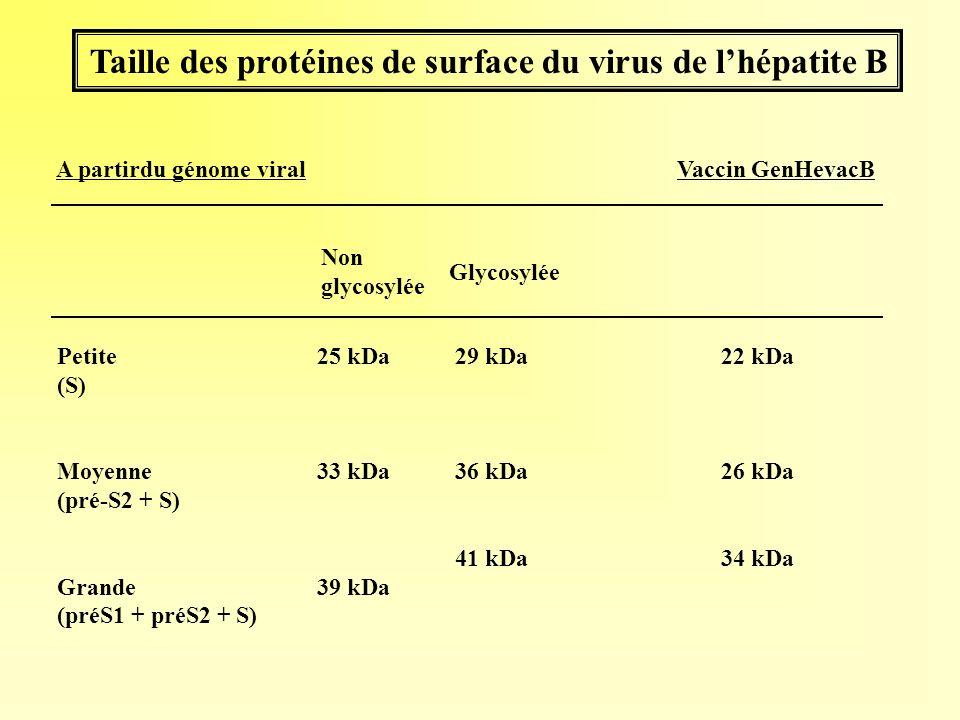 Taille des protéines de surface du virus de lhépatite B 25 kDa 33 kDa 39 kDa Non glycosylée Vaccin GenHevacB Glycosylée 29 kDa 36 kDa 41 kDa 22 kDa 26