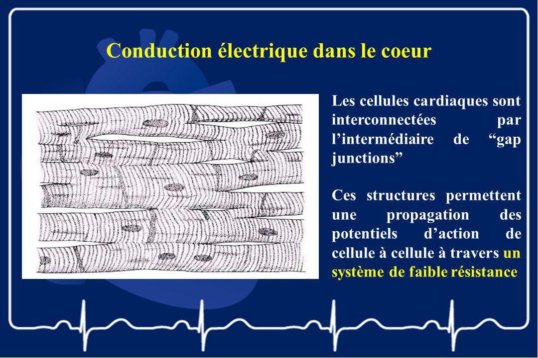 Conduction électrique dans le coeur Les cellules cardiaques sont interconnectées par lintermédiaire de gap junctions Ces structures permettent une pro