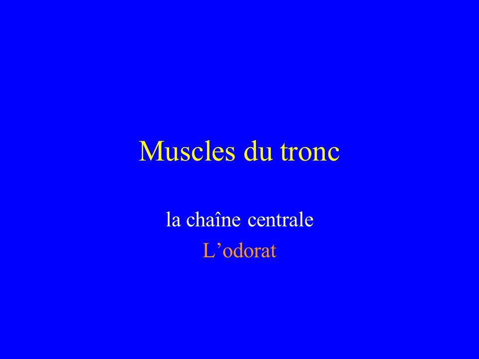 Muscles du tronc la chaîne centrale Lodorat